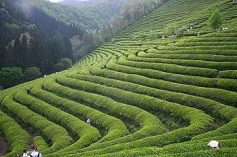 Green Tea Fields of Daehan Tea Plantation, Posung County, South Cholla Province