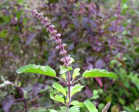 a photo of Tusli (Holy Basil) plant